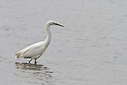 Snowy Egret, Elkhorn Slough, North America