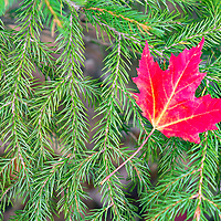 A single red maple leaf adorns a branch of pine needles. Cadillac Mountain Entrance of Acadia National Park, Bar Harbor, Maine