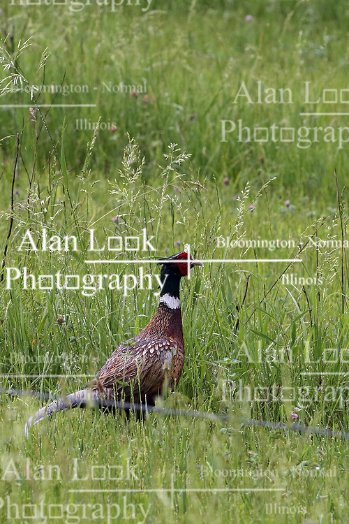 Ring-necked Pheasant (Phasianus colchicus) in tall grass of a pasture surrounded by a strand of barbed wire
