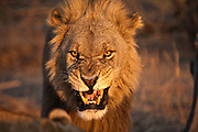 Portrait of a male lion snarling.