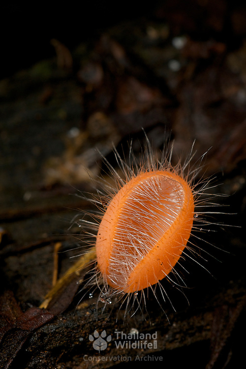 Cup fungi or Cup mushroom  (Cookeina tricholoma) in Huai Kha Khaeng, Thailand.