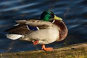 Drake Mallard rests on a log in Lake Washington.