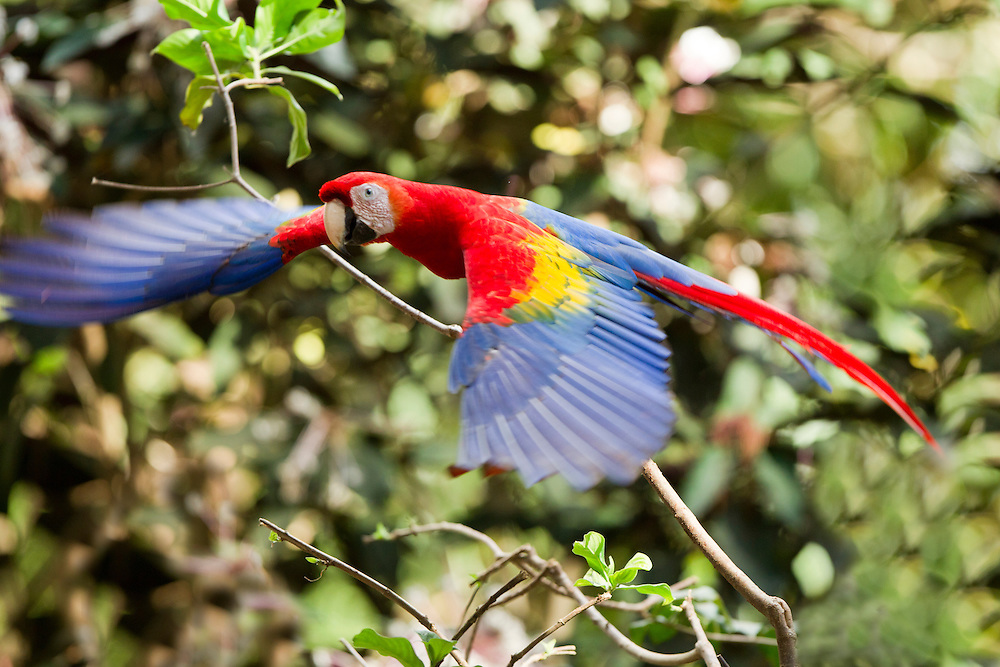 Costa Rica, Guancaste Province, Cañas, Scarlet Macaw (Ara macao) in flight through grove of trees