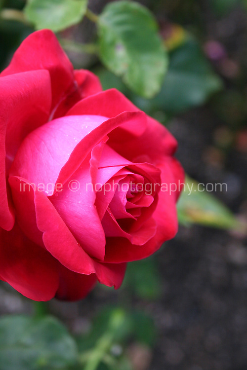 A side view of red rose growing in a garden