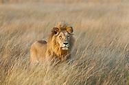 A male lion in the plains in front of Kwetsani camp, Okavango Delta, Botswana / León en los pastizales frente al campo Kwetsani, Delta del Okavango, Botswana