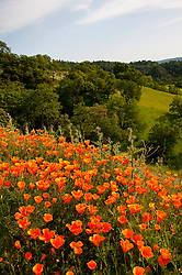 California wildflower travel: Poppies, California state flower, at Mt. Diablo State Park.Photo copyright Lee Foster.  Photo # cawild102211