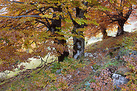 Old beech tree in autumn (Fagus spec.), Piatra Craiului National Park, Transylvania, Southern Carpathians, Romania