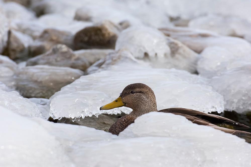 American Black Duck, Anas rubripes, male, Hamilton, Ontario, Canada