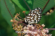 03325-00215 Regal Fritillary butterfly (Speyeria idalia) on Common Milkweed (Asclepias syriaca) Sand Prairie-Scrub Oak Nature Preserve, Mason Co.  IL