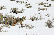 Coyote hunting in sagebrush habitat.