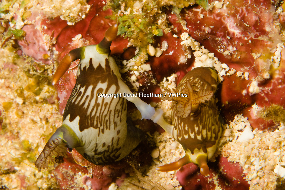 These nudibranches, Nembrotha lineolata, are mating.  This species was named in 1905 from specimens collected in Indonesia. This image was taken off the island of Mabul in Malaysia.