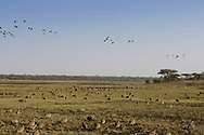 Sandgrouse in east African habitat