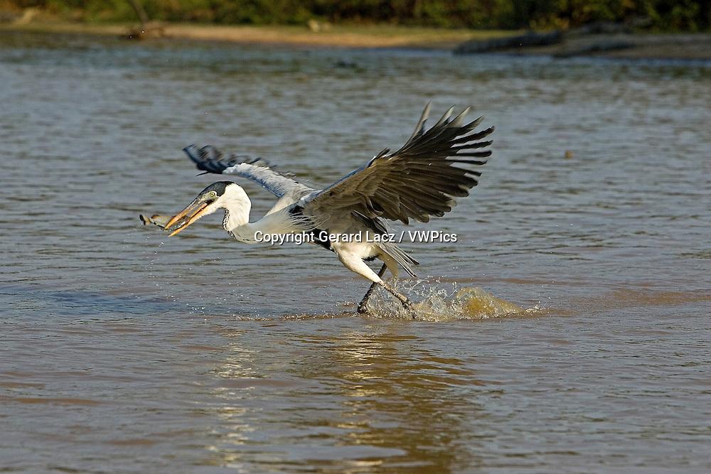 White-Necked Heron, ardea cocoi, Adult in Flight, Fishing in River, Los Lianos in Venezuela