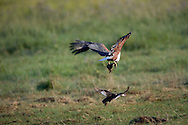 African Fish Eagle (Haliaeetus vocifer) with juvenile Red-billed teal (Anas erythrorhyncha) in talons, Linyanti Swamps, Okavango Delta, Botswana