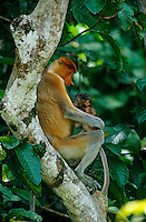 Proboscis Monkey (Nasalis larvatus) female with young baby.  Newborn proboscis monkeys are dark in color for the first few months.<br /> Kinabatangan Wildlife Sanctuary, Sabah, Malaysia, Borneo.