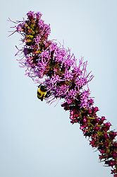Bumblebees collect nectar and pollen from prairie blazing star (Liatris pycnostachya) also known as gayfeather along the 1.5-mile Gayfeather Trail in the Regal Prairie Natural Area located in Prairie State Park. The park, located near Liberal, Mo. is Missouri&rsquo;s largest remaining tallgrass prairie. The park&rsquo;s nearly 4,000 acres is home to bison and elk. Panoramic hillsides of wildflowers such as prairie blazing star, sunflowers, and Indian paintbrush provide a canvas of color. In the fall, prairie grass such as big bluestem and Indian grass may tower as high as 8 feet tall. <br /> <br /> Tallgrass prairie once covered more than 13 million acres of Missouri&rsquo;s landscape. Today, less than one percent remains. The prairie at Prairie State Park remains because the rocky land was too difficult to plow, which protected it from being farmed. Hiking, animal viewing, camping, birdwatching, and photography are some of the activities that the park affords. <br /> <br /> The Regal Prairie Natural Area is a 240-acre state natural area within the park that is especially noted for its wildflower display. The Nature Conservancy and the Missouri Prairie Foundation provided funding for the purchase of much of the park&rsquo;s acreage. The area was dedicated as a state park in 1982.