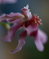 Soft macro of a tiny pink orchid flower