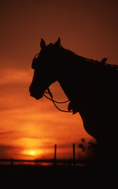 A horse owned by Amish stands in the sunset in Lancaster, PA