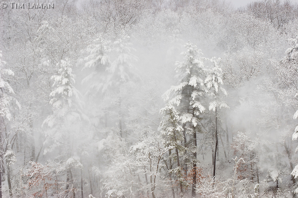 Close-up of snow falling off the trees the morning after a winter storm at Walden Pond.