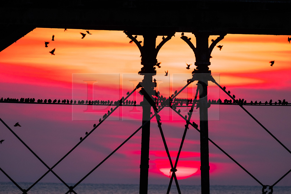 © Licensed to London News Pictures. 23/02/2018. Aberystwyth, UK. The sun setting, framed  dramatically behind Aberystwyth pier, picks out the silhouettes of some of the tens of thousands of tiny starlings as they  roost for the night, huddled together for warmth and safety, on the forest of cast iron girders and beams underneath the town's distinctive Victorian era seaside attraction. One of only a few urban roosts in the UK, Aberystwyth pier offers birdwatchers an unique opportunity to get 'up close' to these birds, which,  although seemingly plentiful in Aberystwyth, are on the RSPB's 'red list' of endangered creatures. Photo credit: Keith Morris/LNP