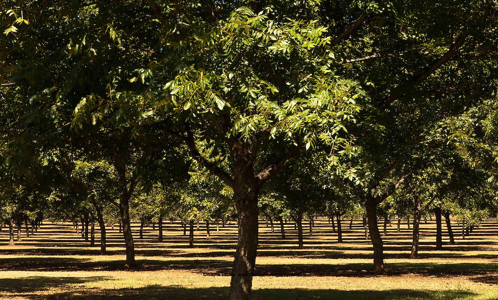 Pecan orchard near Fort Smith, Georgia