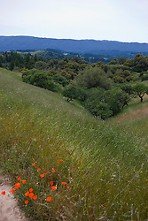 Field of grass and wildflowers, Russian Ridge Open Space hiking trails, Palo Alto, California, United States of America.