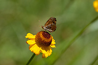 Phyciodes mylitta (Mylitta Crescent) at Lloyd Meadow, Tulare Co, CA, USA, on 20-Jul-12