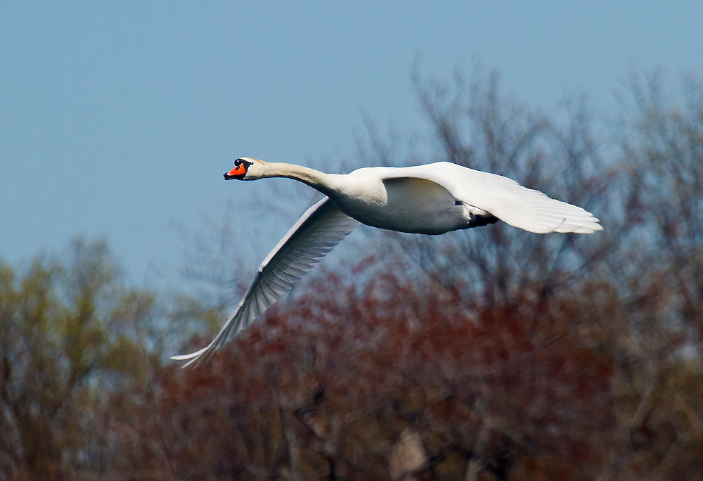 A mute swan on a landing approach.