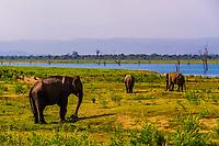 Elephants, Udawalawe National Park, Sri Lanka. Udawalawe is an important habitat for water birds and Sri Lankan elephants.