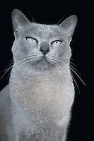Blue Burmese cat close-up