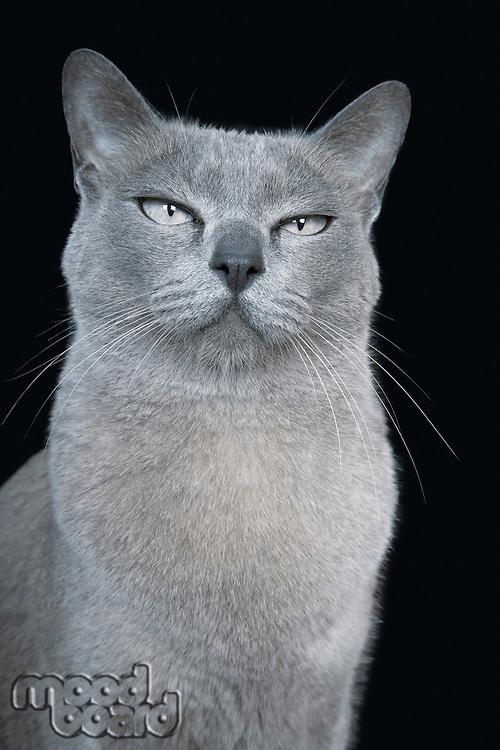 Blue Burmese cat close-up