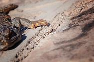 Foot of a lizard (lacertilia) in the Sahara desert, Morocco.