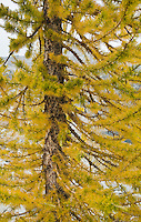 Closeup of Larch tree with Autumn colors, Enchantment Lakes Wilderness Area, Washington Cascades, USA.