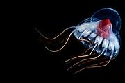 Deep sea jellyfish (Periphylla periphylla) juvenile, jellyfish, deep sea, Trondheimsfjord, Norway, Atlantic ocean