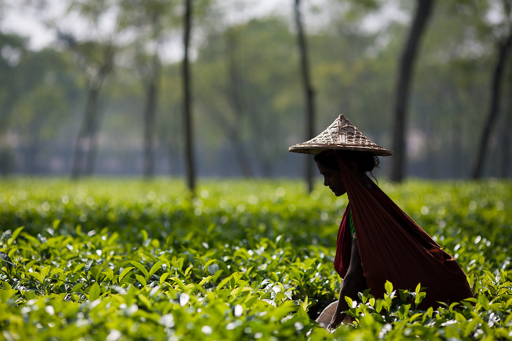 A Hindu woman picks tea in the tea gardens around Srimongol in north west Banglafesh