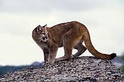 Juvenile female cougar (Felis Concolor). Range: North America - Canada south to South America. Captive, Montana.