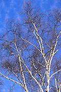 Bare birch trees.
