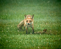 Fox with a early morning meal. Image taken with a Nikon D5 camera and 600 mm f/4 VR lens