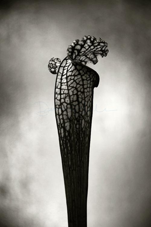 Pitcher plant, Glasgow botanical gardens