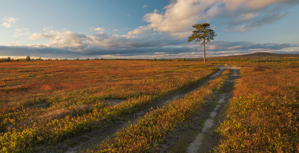 Lone Pine, blueberry fields near Cherryfield, Maine