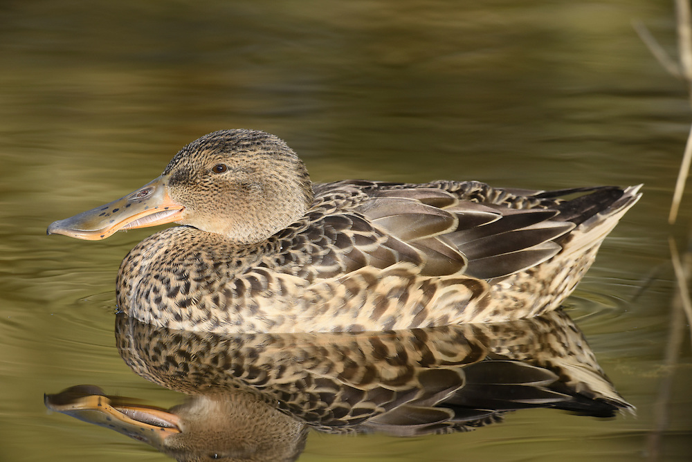 Shoveler - Anas clypeata - female. L 44-52cm. Unmistakable because of bill shape. Usually unobtrusive. In flight, male shows blue forewing panel and white-bordered green speculum; in female, blue is replaced by grey. Sexes are dissimilar overall. Adult male has shiny green head, white breast and chestnut on flanks and belly. Stern is black and white and back is mainly dark. Has yellow eye and dark bill. In eclipse, resembles adult female although body is more rufous and head greyer. Adult female has mottled buffish brown plumage and yellowish bill. Juvenile is similar to adult female. Voice Male utters a sharp tuk-tuk while female makes a soft quack. Status Scarce breeding species on freshwater wetland. Commoner and more widespread in winter but seldom numerous.