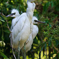 Wild fledgling snowy egret (Egretta thula) siblings perched on a branch, the senior broodmate in the foregroung is older and more developed due to asynchronous hatching, St. Augustine Alligator Farm Rookery, Anastasia Island, St. Augustine, Florida.