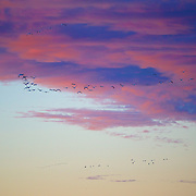 Migratory birds at sunrise over the refuge. Just like overnight tourists leaving the hotel in the morning, these flocs take to the air to resume their journey south.