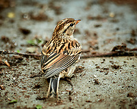 Song Sparrow. Image taken with a Nikon D5 camera and 600 mm f/4 VR lens