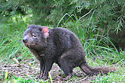 Captive tasmanian devil Shot in zoo, cleland wildlife park.