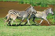 Two adult Zebras and a young foal Photographed in Tanzania