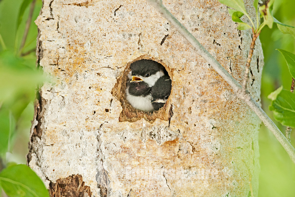 Black Capped Chickadee young chicks in a nesting cavity that is in the side of a cottonwood tree waiting for one of the adults to come back and feed them.