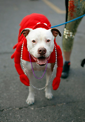 31 January 2016. New Orleans, Louisiana.<br /> Mardi Gras Dog Parade. A pit bull at the Mystic Krewe of Barkus as the parade winds its way around the French Quarter with dogs and their owners dressed up for this year's theme, 'From the Doghouse to the Whitehouse.' <br /> Photo©; Charlie Varley/varleypix.com
