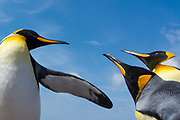 King penguins, Aptenodytes patagonica, fighting.