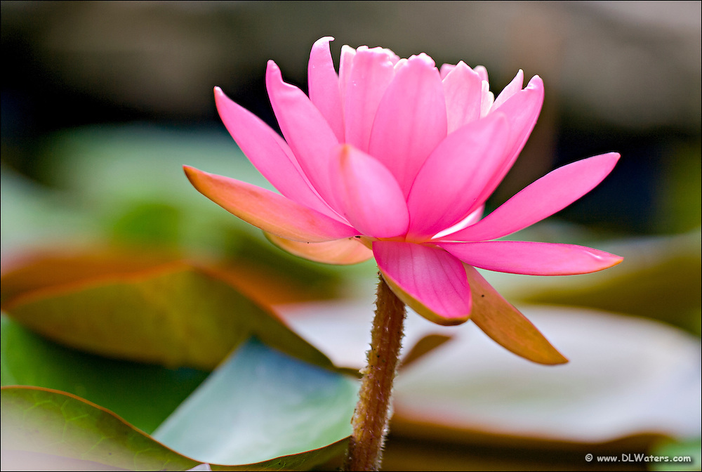 I photographed this pink waterlily in my backyard pond, at point Harbor North Carolina.